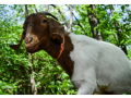 Donate $1,000: Build a Shed for our Goats