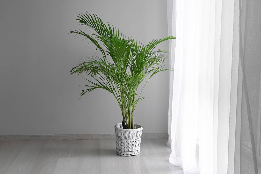 Areca palm Biophilia, Bophilic design