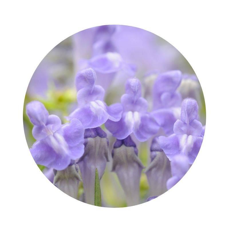 BAIKALHELMKRAUT Scutellaria baicalensis Heilpflanzen Heilkräuter Lexikon Heilwirkung Wirkung