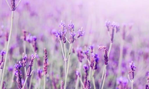 Stoechiol, spanish lavender oil