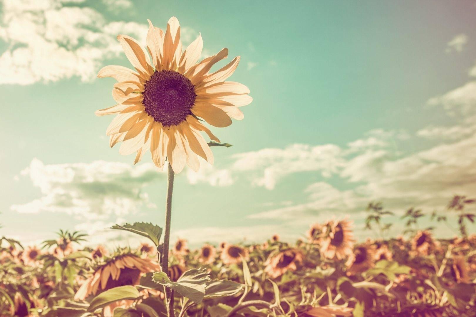 OSIRIUS® - Jeder Mensch ist anders - Naturheilmittel mit Biopersonalisierung® - Sonnenblume - Natur