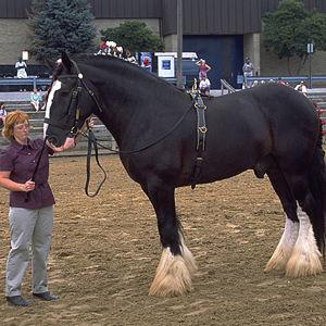 Shire Horse Avatar