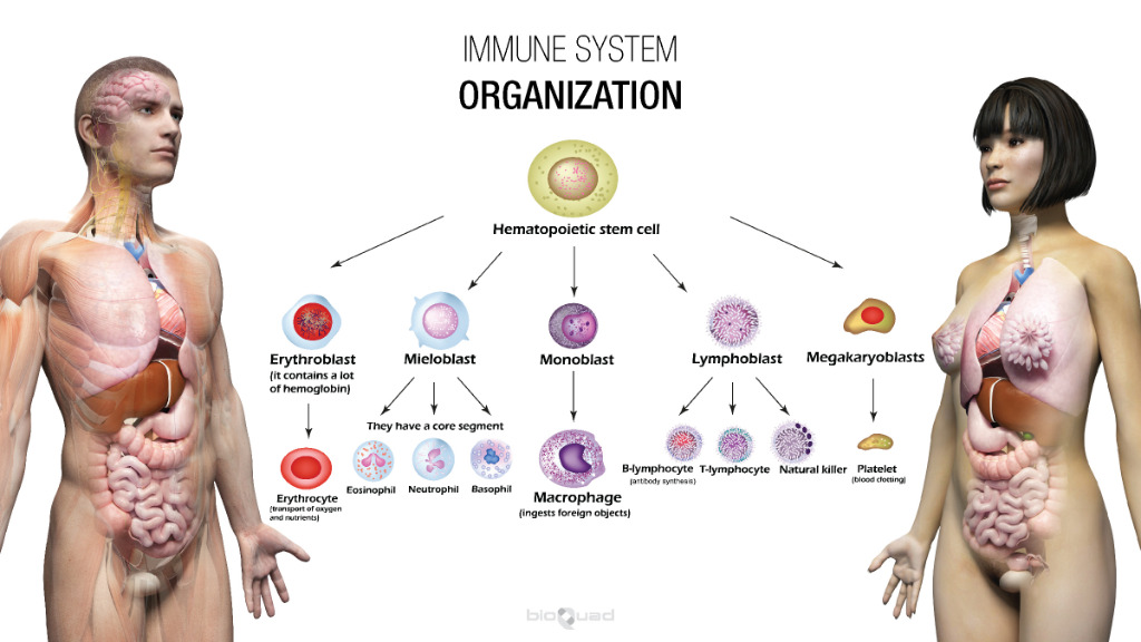 male and female human body showing immune system organization