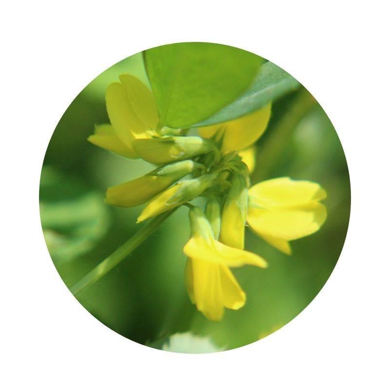 BOCKSHORNKLEE Trigonella foenum-graecum Heilpflanzen Heilkräuter Lexikon Heilwirkung Wirkung