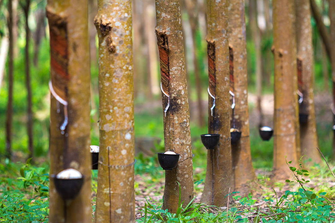 Image of rubber trees