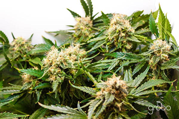 Growing Cannabis: 10 Advanced Techniques to Increase Yield