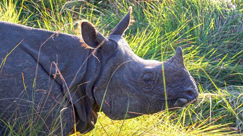 One-horn rhino, Chitwan National Park, Nepal