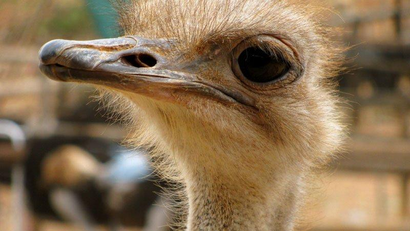 Eye see you, Ostrich, South Africa