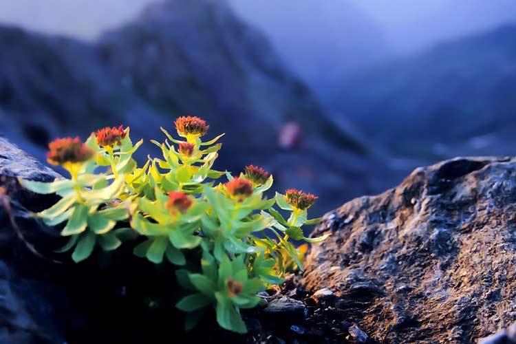 mountainlife siberian rhodiola rosea herb