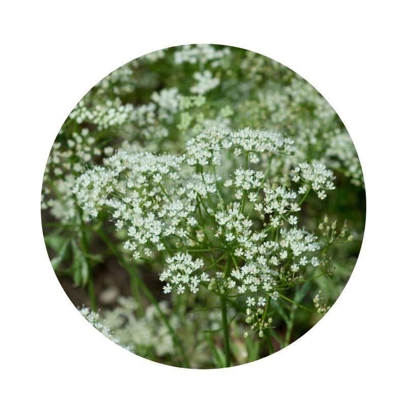 ANIS Pimpinella anisum Heilpflanzen Heilkräuter Lexikon Heilwirkung Wirkung