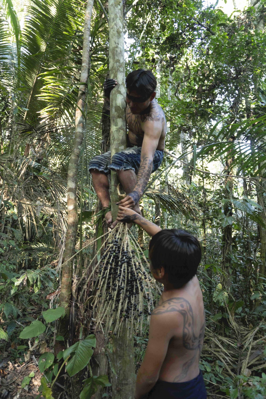 Yawanawá community members climb the açaí palm trees