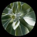 ashwagandha herb benefits | dendera naturally