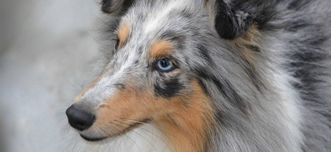 MDR 1 Gendefekt beim Hund - Titelbild