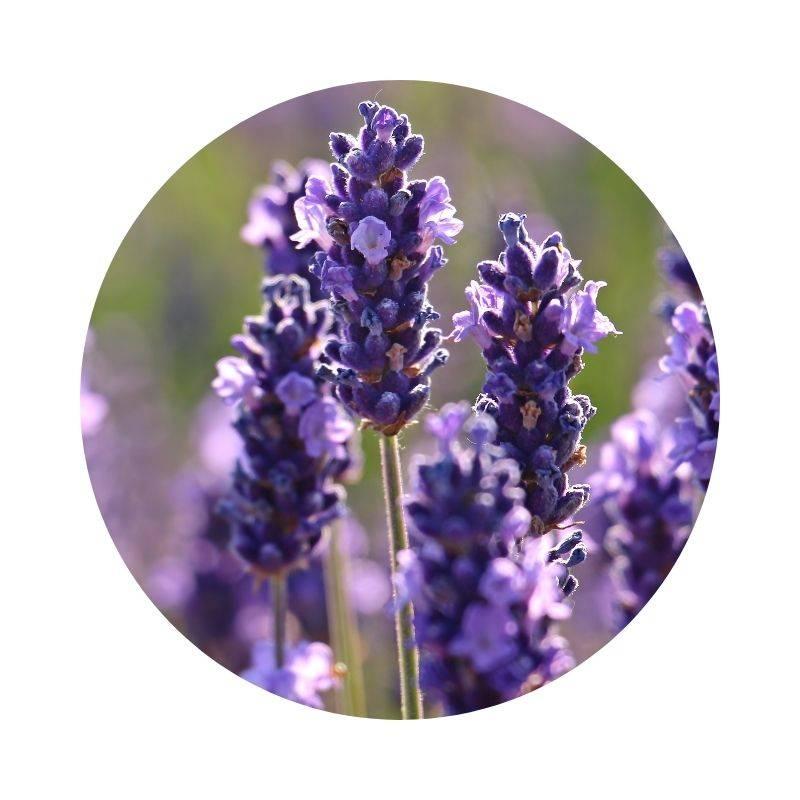 Heilen, Heilwirkung, Wirkung von Lavendel