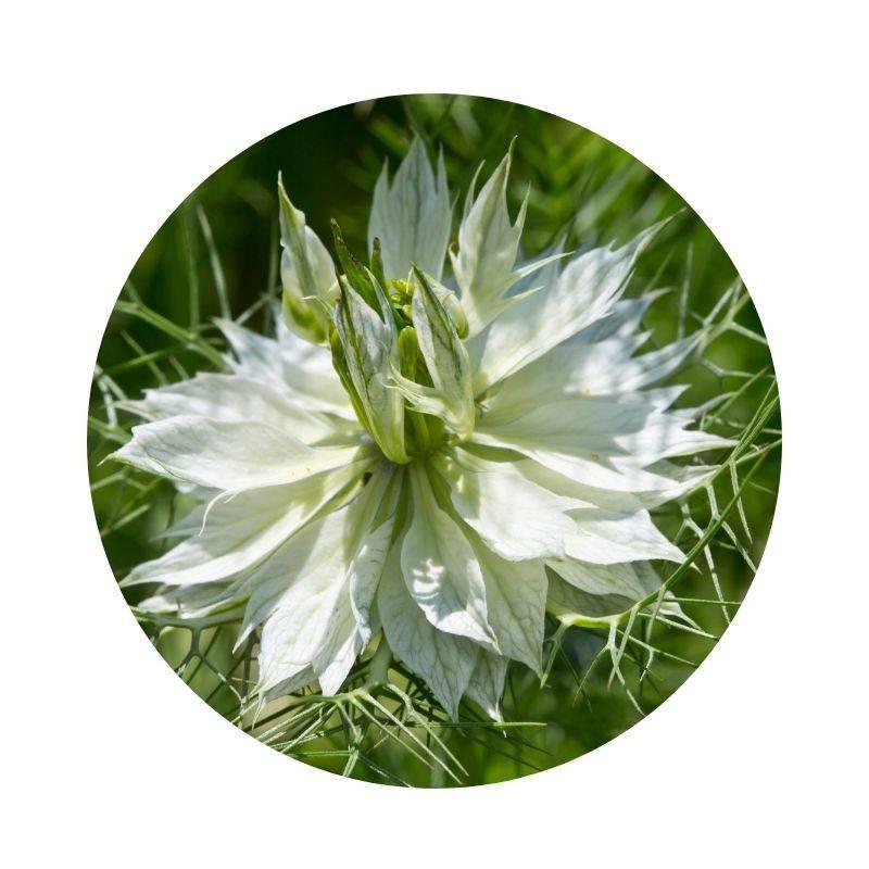 SCHWARZKÜMMEL Nigella sativa Heilpflanzen Heilkräuter Lexikon Heilwirkung Wirkung