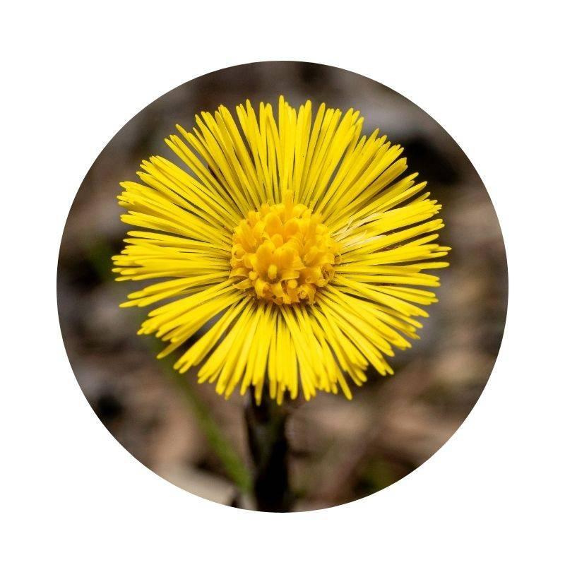 HUFLATTICH Tussilago farfara Heilpflanzen Heilkräuter Lexikon Heilwirkung Wirkung