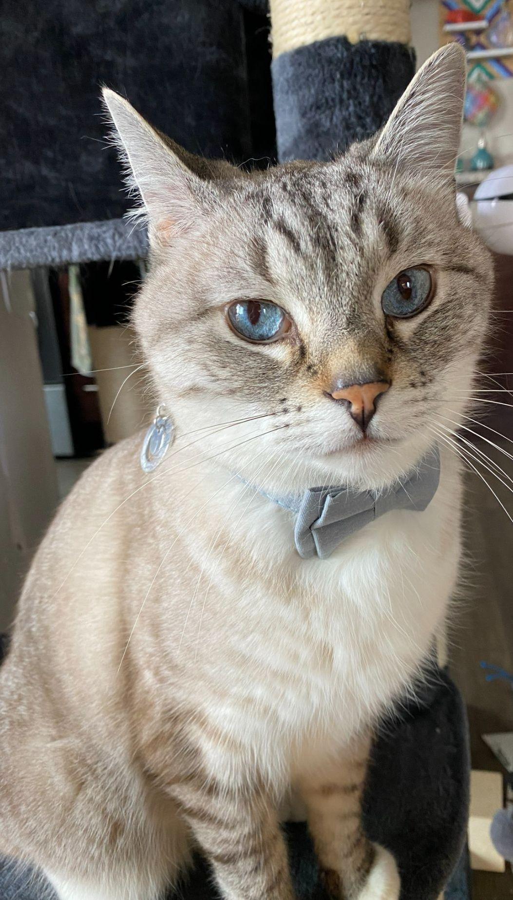 Cat wearing a bow tie