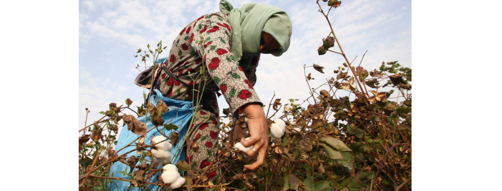 A worker picks cotton in Uzbekistan, a country known for its modern slave-like working conditions in the cotton industry