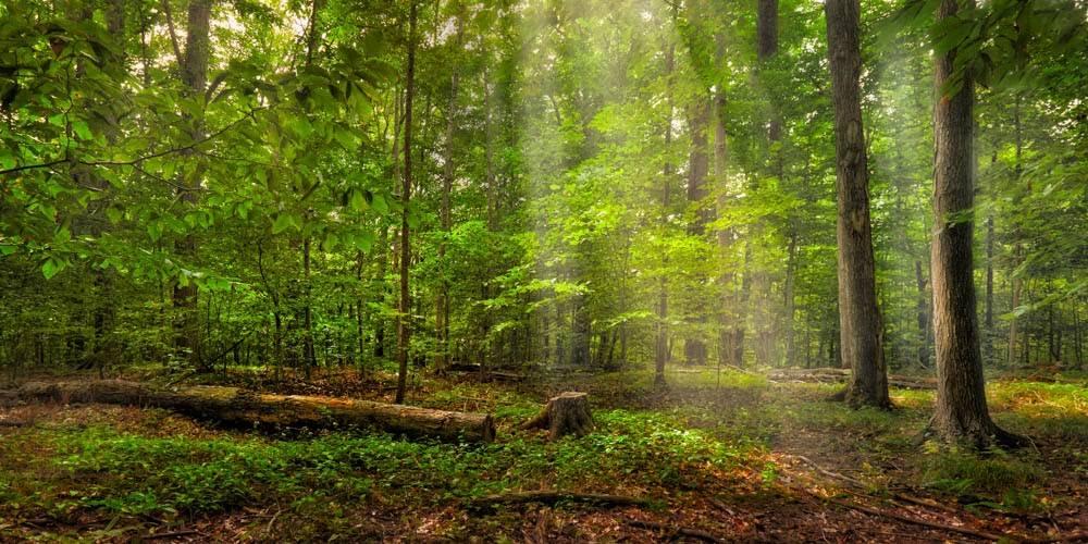 Panoramic photo of the Sacred Grove. Beams of light shine down through the trees.