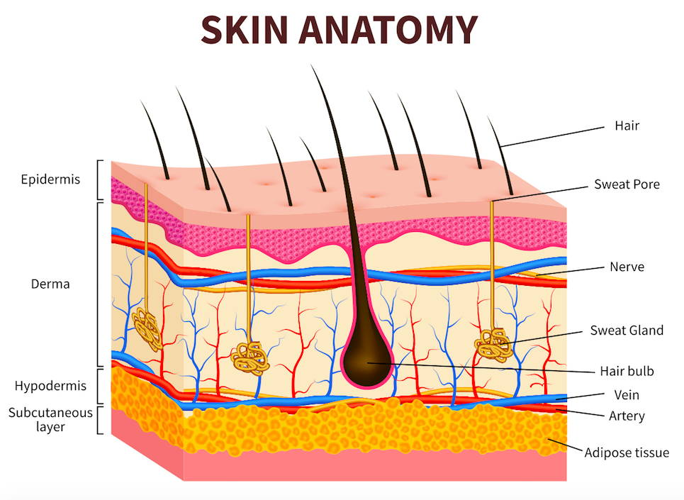 akin anatomy image to support skin nutrition