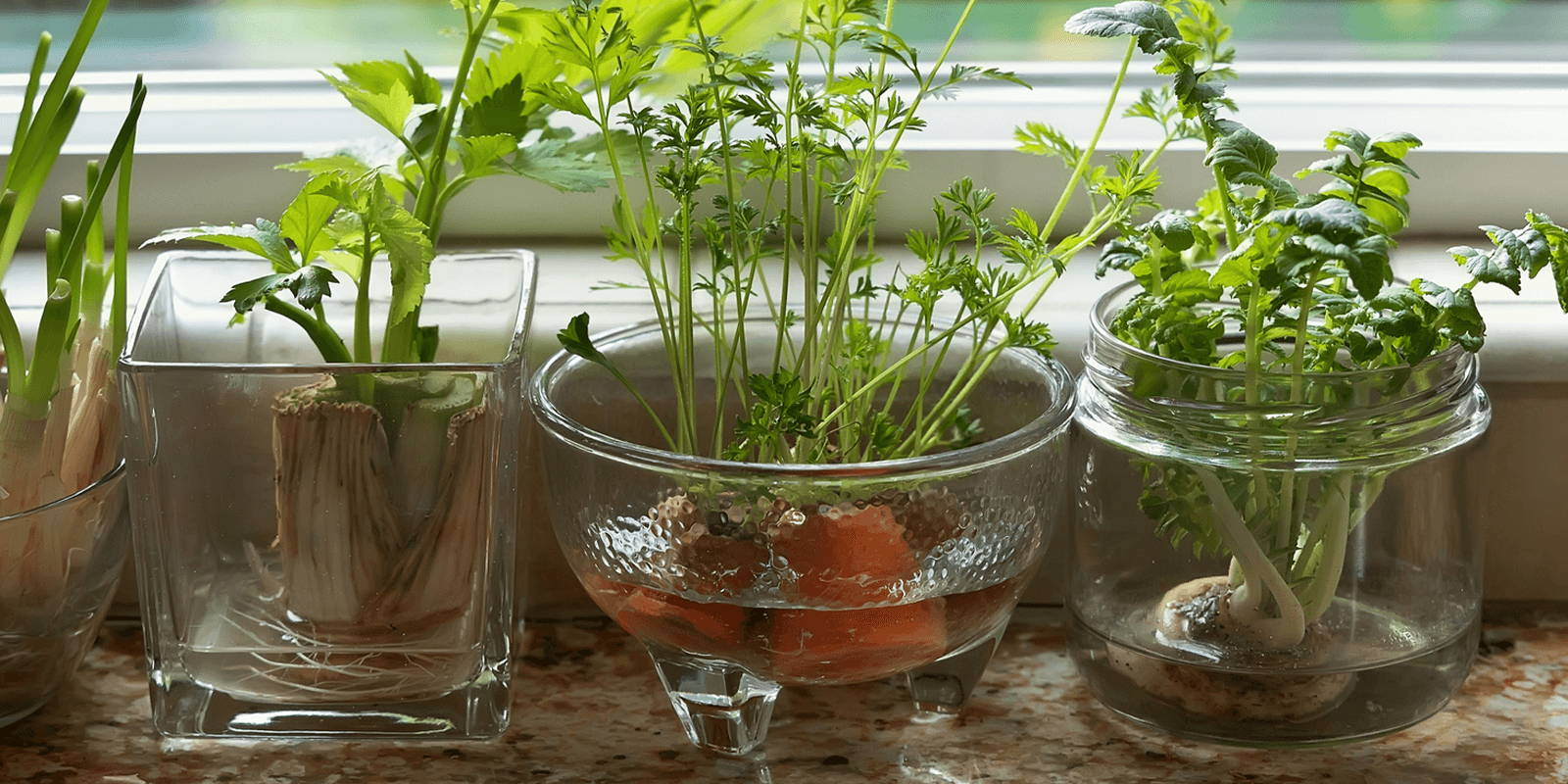 Various glass vessels on a windowsill, each regrowing different veggies. The center glass dish holds carrot tops regrowing in some shallow water.