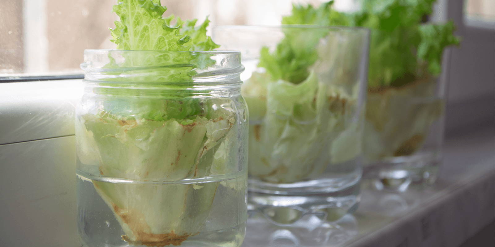 A diagonal shot of a windowsill, on which are three jars of water holding sprouting lettuce cores.