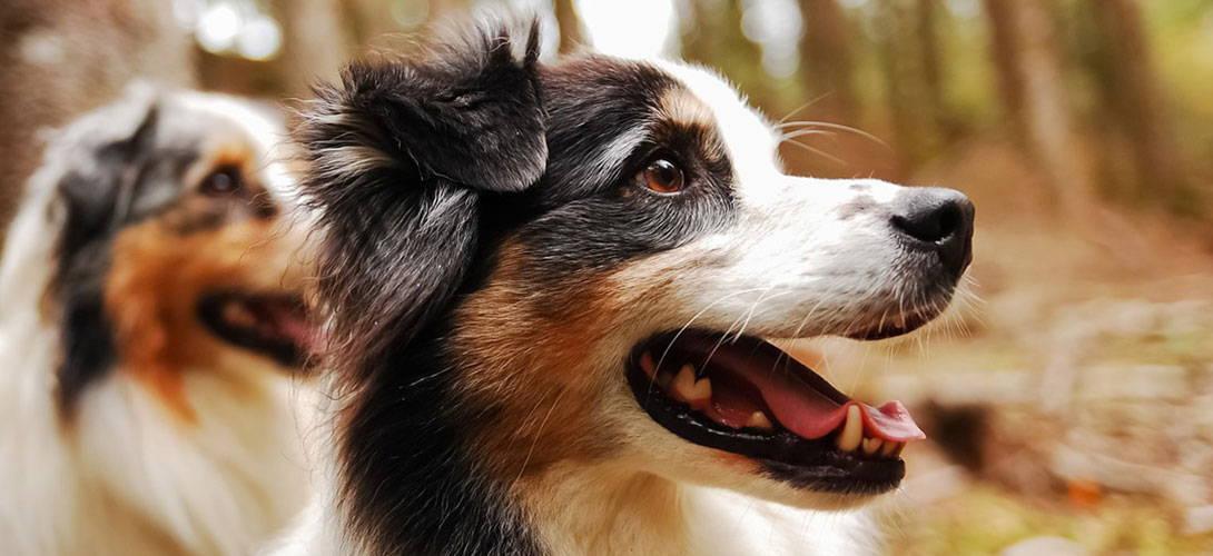 Australian Shepherd im Rasseportrait - Titelbild
