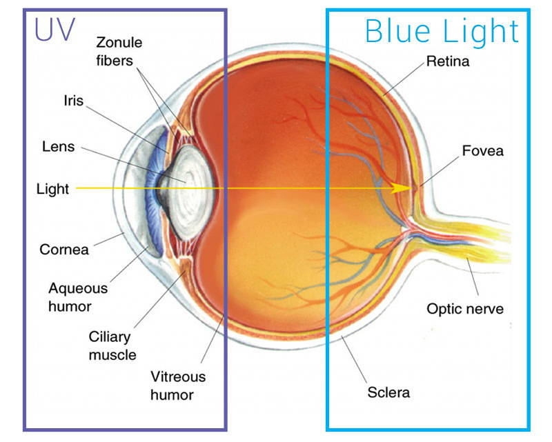 Blue Light penetrates deeper into the eyes, which is why we filter it out