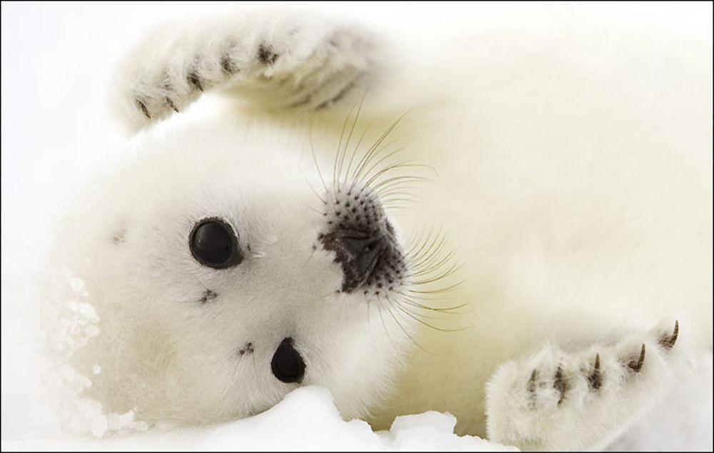 La foca arpa
