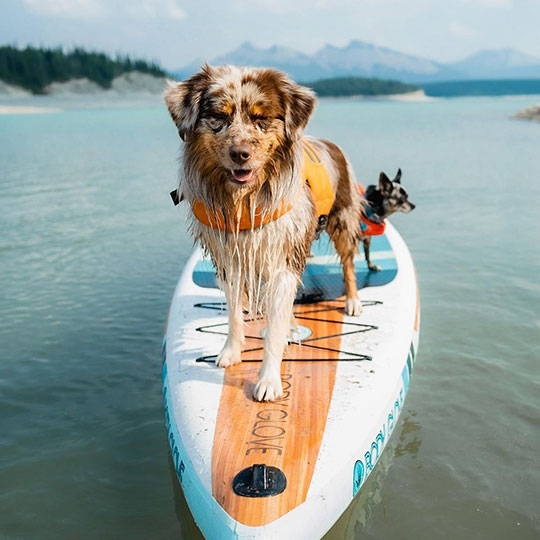 aussie and chihuahua on standup paddle board