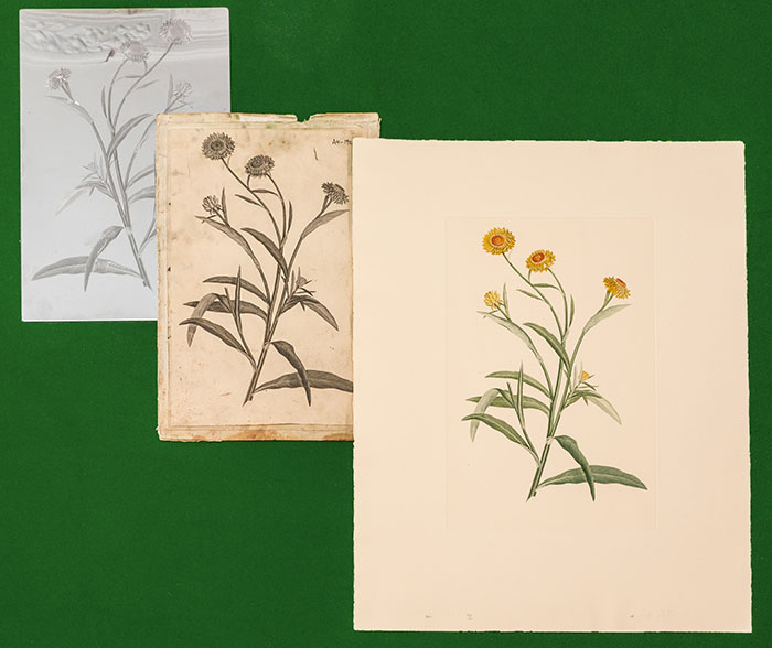 Banks Florilegium plate proof and print stages