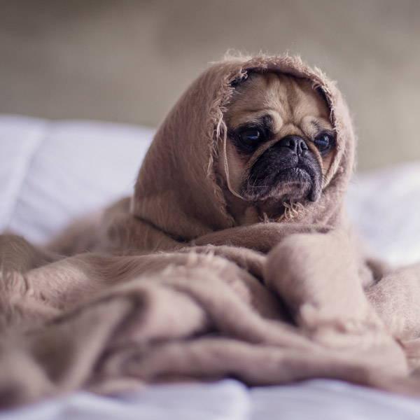 pug-bed-blanket-tired-purebee