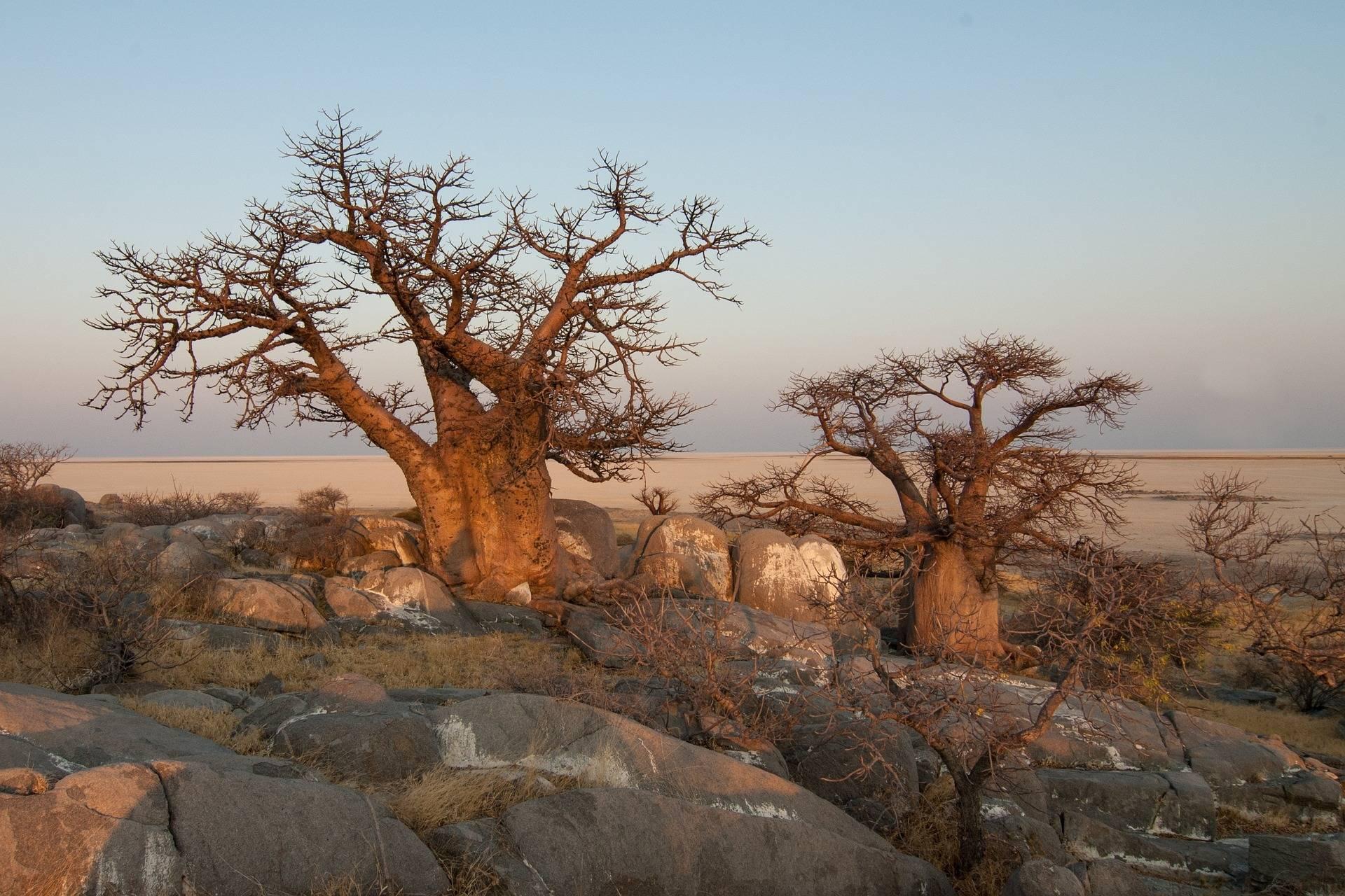 Affenbrotbaum-Baobab