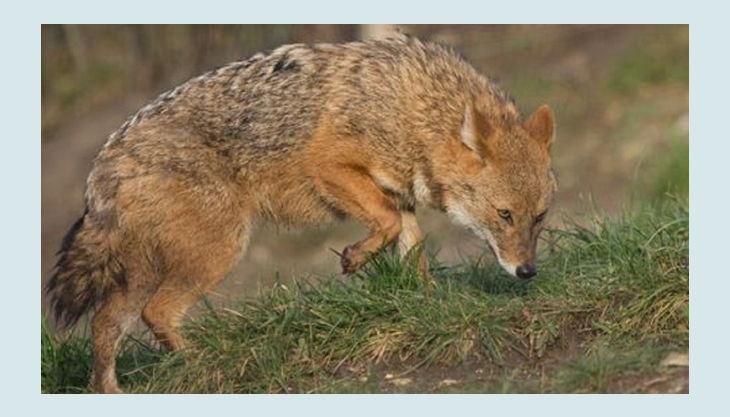 naturzoo rheine fuchs auf jagd