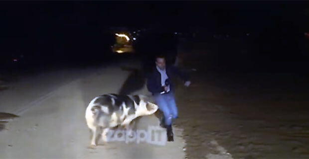 Свинья напала на журналиста в прямом эфире и искусала его - Новости радио OnAir.ru