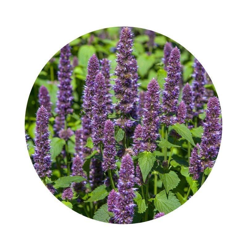 YSOP Hyssopus officinalis Heilpflanzen Heilkräuter Lexikon Heilwirkung Wirkung