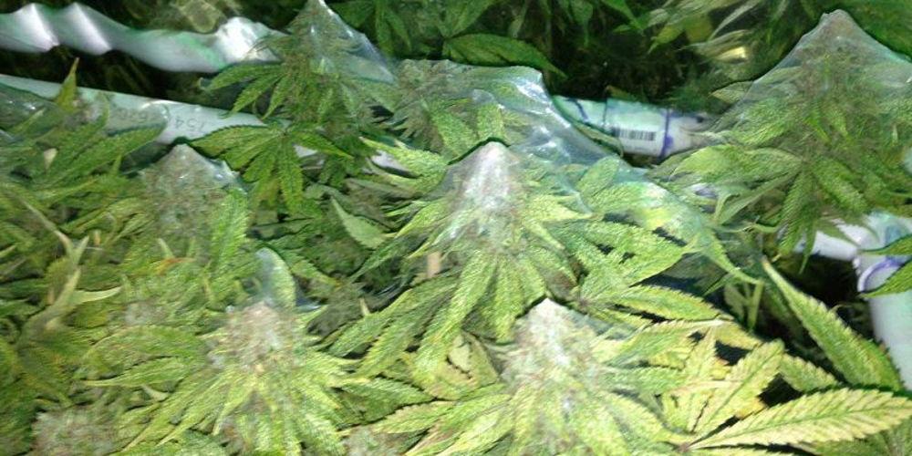Weed Spider Mites