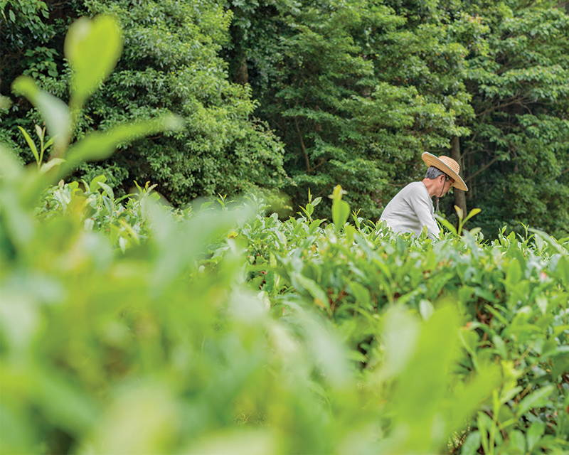 Japanese tea farmer