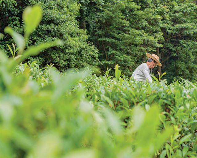 Japanese tea farmer