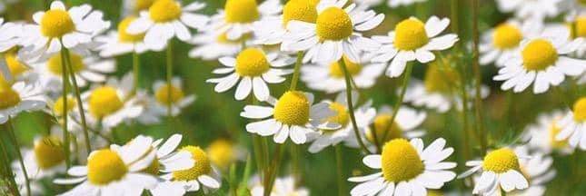 fleurs camomille