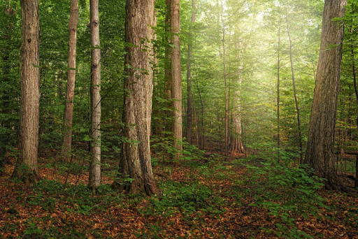 A picture of the Sacred Grove. Light shines down through the trees.