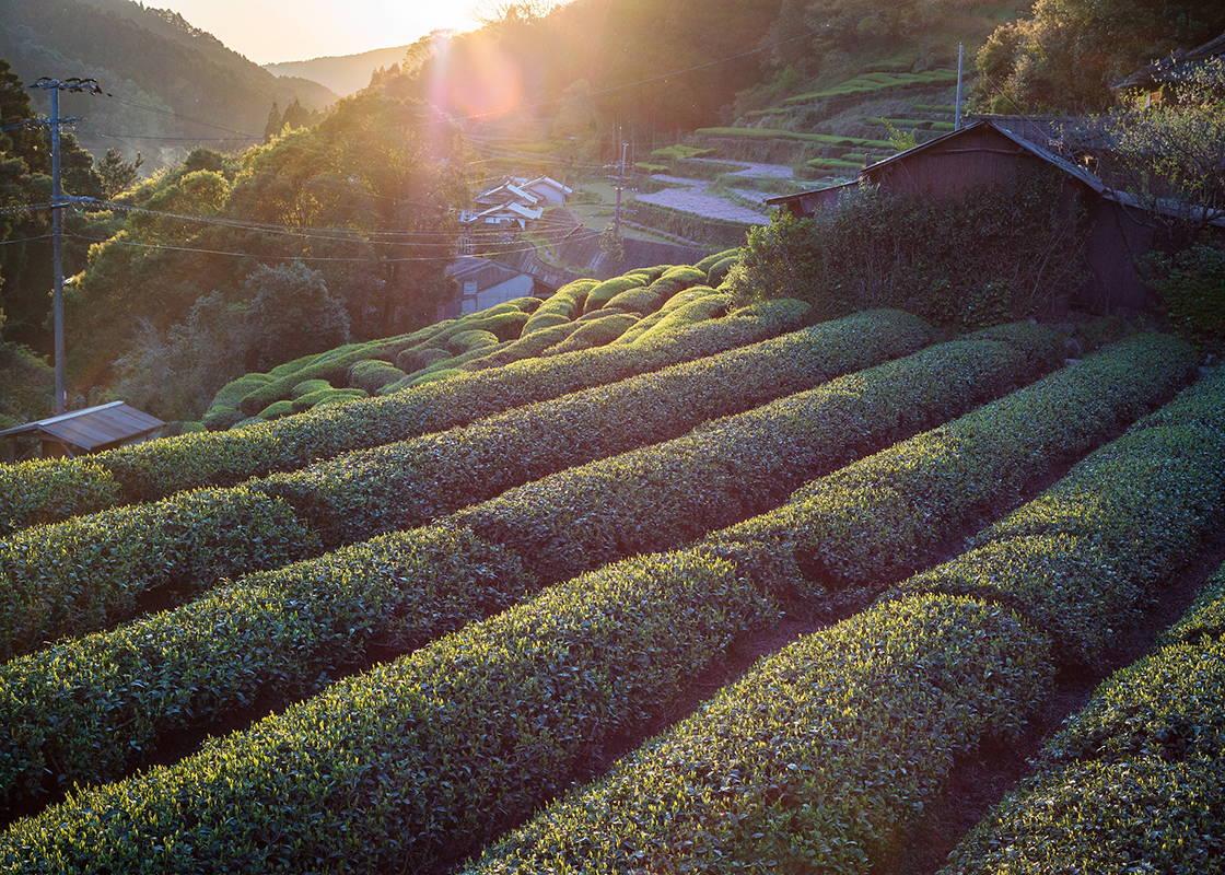 Japanese matcha tea leaves | Tea farm