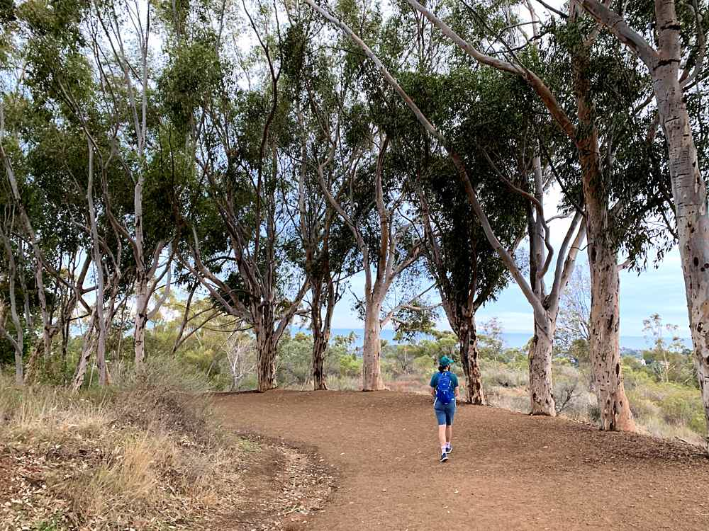 Man hiking amid a Eucalyptus grove in Will Rogers Historic State Park in California