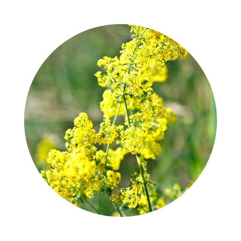 ECHTES LABKRAUT Galium verum Heilpflanzen Heilkräuter Lexikon Heilwirkung Wirkung