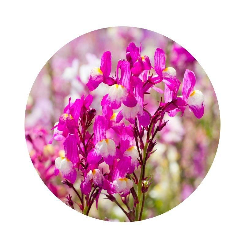 LEINKRAUT Linaria vulgaris Heilpflanzen Heilkräuter Lexikon Heilwirkung Wirkung
