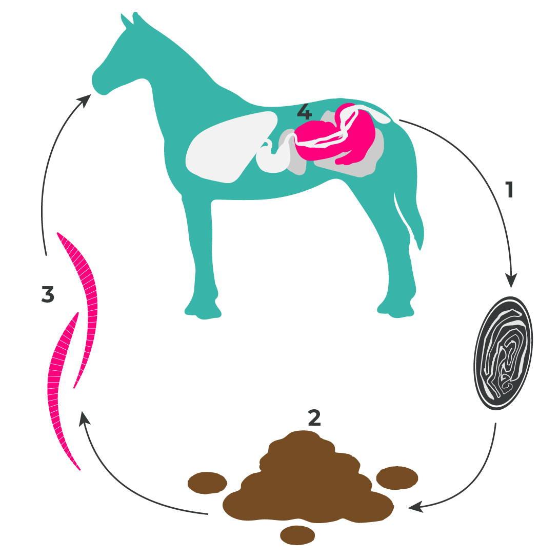 Entwicklungszyklus: Kleine Strongyliden beim Pferd