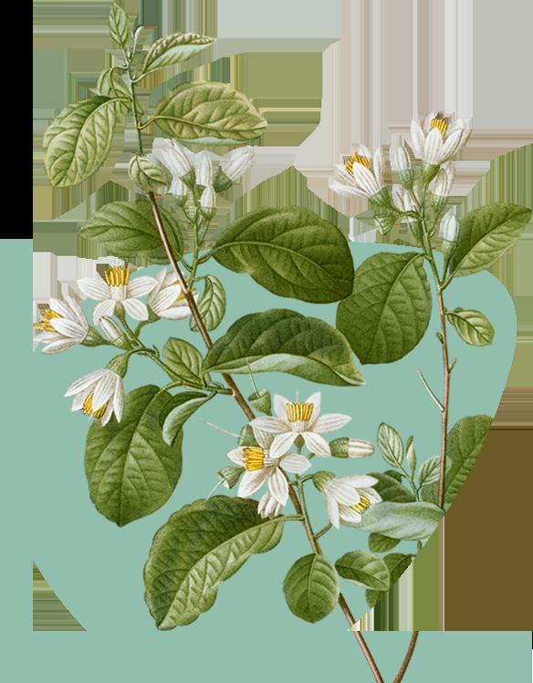 Benzoin plant