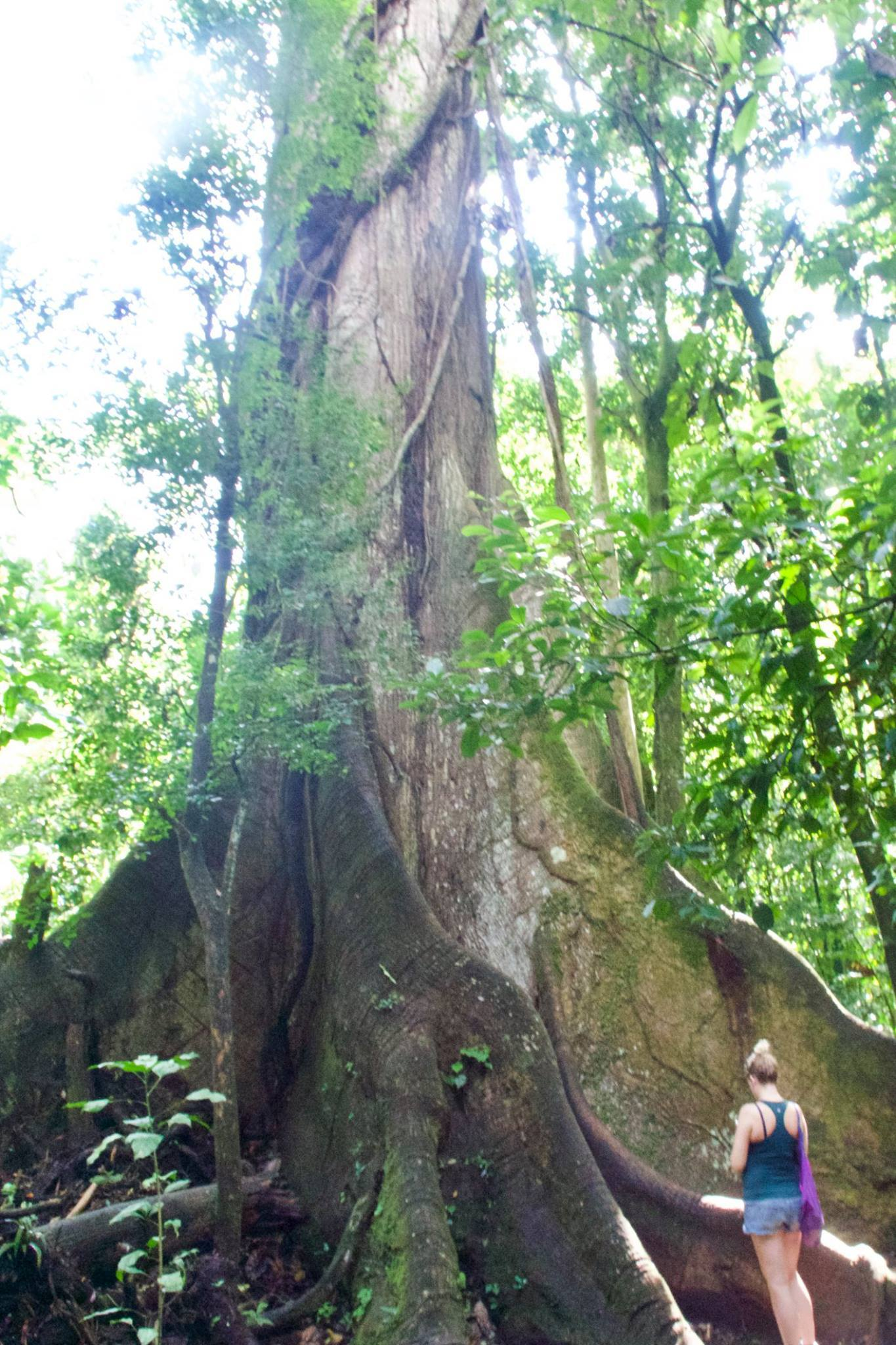 Picture of enormous tree, Antonio, Costa Rica