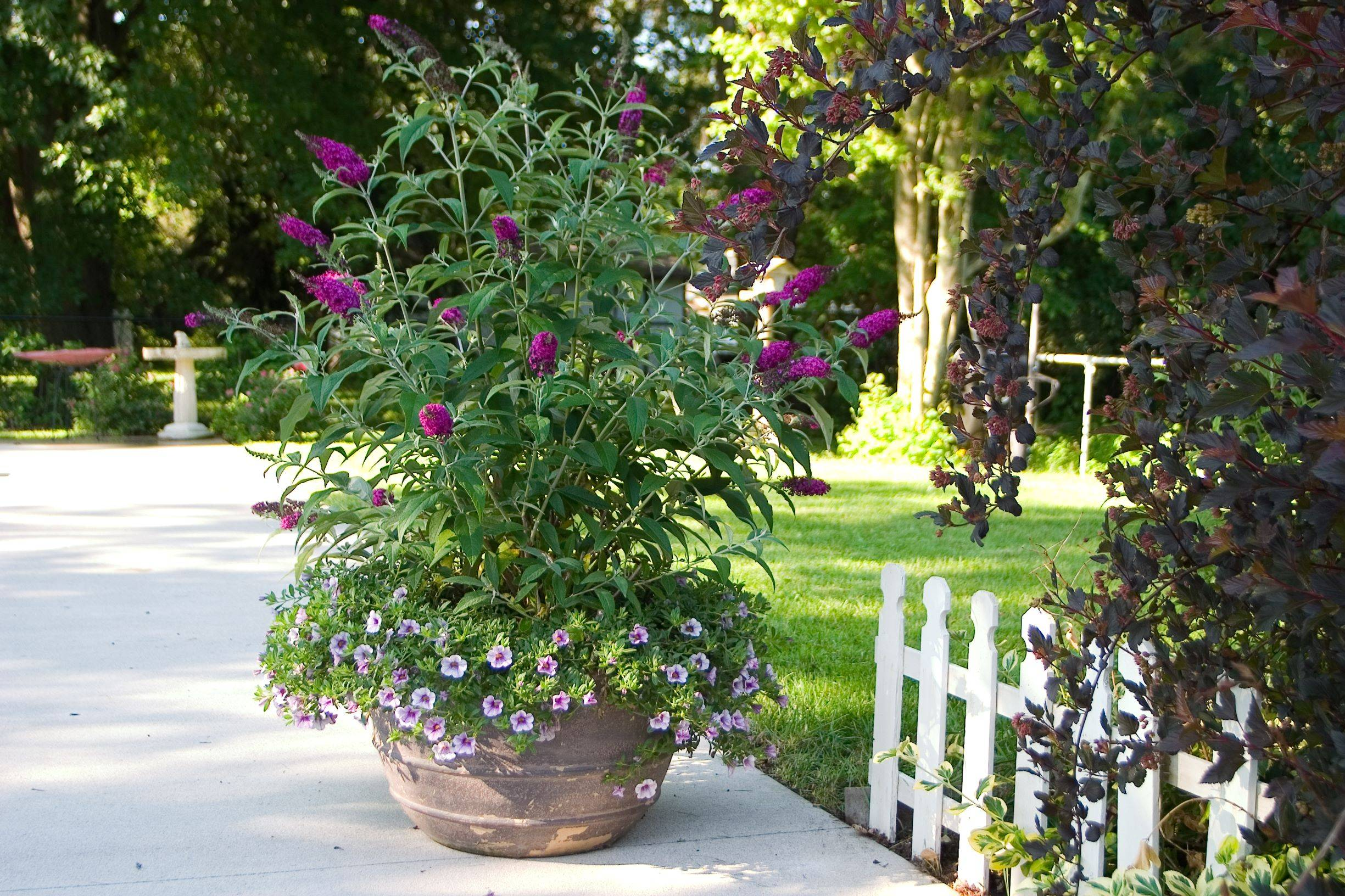 Pink Butterfly Bush in a container