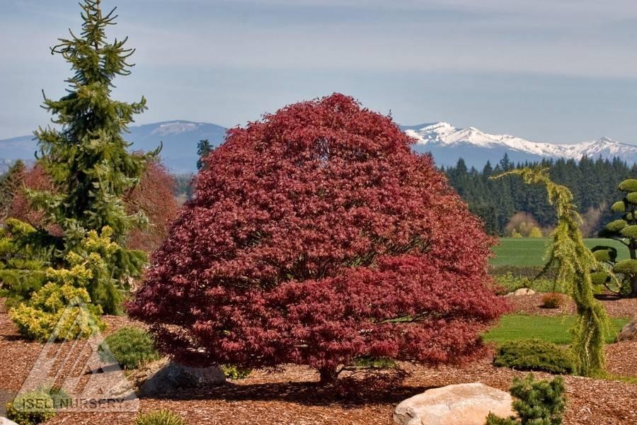 rhode island red tree